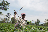 India – West Bengal: A tea plucker at Mogulkata Tea Estate, in the Dooars region, measuring the height of the tea bushes. Despite being one of the biggest economic activitis in India, tea industry has been repeatedly accused of gross mistreatment of its workers. Tea workers are among the worst paid in the country and their living conditions are often dire.