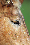 Horse With Flies On Face