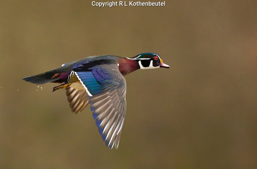 Wood Duck Drake Flying Male wood duck flying alongWood Ducks Flying