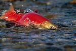 A sockeye salmon swimming in Funnel Creek on the Alaska Peninsula.