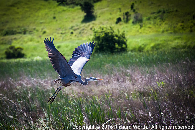 A Great blue heron takes to the air.  It spreads its wings and defies gravity - by  flying.  Coyote Hills Regional Park along San Francisco Bay.