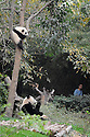 THE CHENGDU PANDA BREEDING AND RESEARCH CENTRE, SICHUAN, CHINA. 14/3/13. PICTURE BY CLARE KENDALL 07971 477316