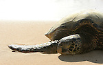 turtle sleeping on the beach,Hawaii,