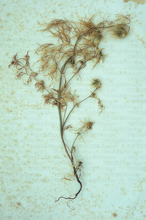 Dead plant lying on antique paper