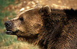 Brown bear, Ursus arctos captive, close up showing face, nose, eyes and ears, profile....