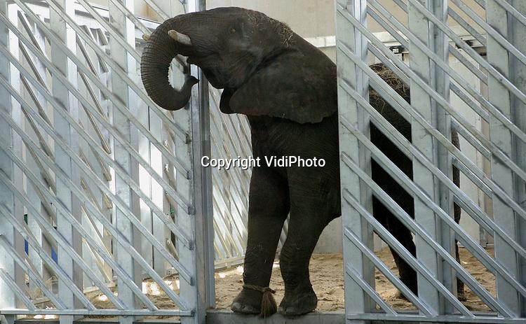 Foto: Henk Aalbers..RHENEN - Voor het eerst in de historie van Ouwehands Dierenpark heeft de dierentuin een olifantstier. Dinsdag arriveerde de vijftienjarige Afrikaanse olifant Tooth uit Engeland. De naam dankt hij aan zijn slagtanden. Het dier zal voorlopig ondergebracht worden in het gloednieuwe olifantverblijf van de Rhenense Zoo. Tooth moet voor nageslacht zorgen bij de twee Afrikaanse olifanten die Ouwehands vorig jaar in bezit kreeg.