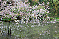 The branch of a flowering cherry (Prunus serrulata) is supported over the waters of the ornamental lake