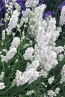 Lavandula angustifolia 'Ellagance White' English lavender, showing many dense white flowers