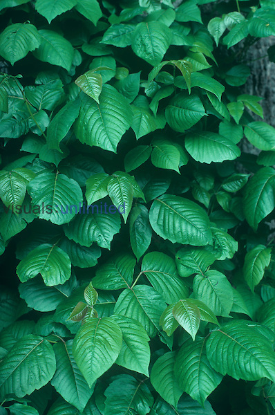 Poison Ivy leaves in the summer ,Toxicodendron radicans,, North America.