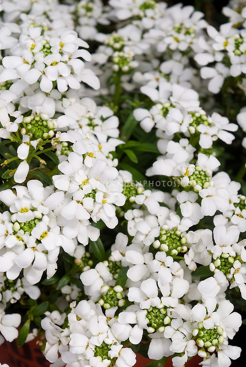 Iberis semperviens candytuft in spring flower plant for Iberis sempervirens