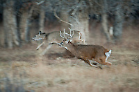 Whitetail buck (Odocoileus virginianus) chasing doe during the autumn rut in western Wyoming