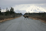 A moose crosses the Copper River Highway, east of Cordova, Alaska on the road to the Million Dollar Bridge that crosses the Copper between Childs and Miles Glaciers. Moose are common on the Copper River delta.