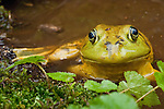 Bullfrog, Rana catesbeiana, native to much of the United States and parts of southern Canada