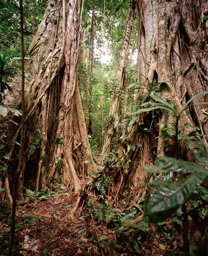 Walking trees in the rainforest, Tambopata Nature Reserve, Amazon Region, Peru, South America