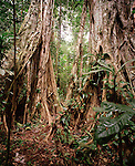 Walking trees in the rainforest, Tambopata Nature Reserve, Amazon Region, Peru, South America
