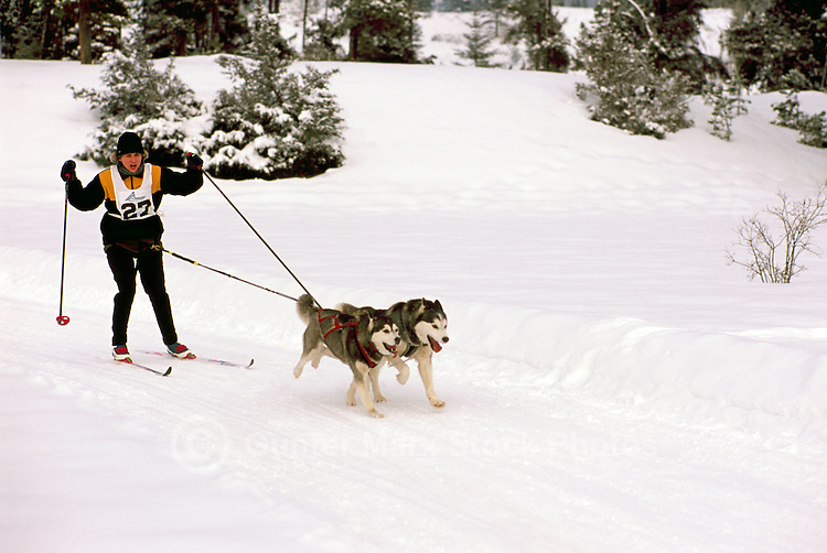 Woman skijoring with Dogs in a Race Competition near Falkland, in the North Okanagan Region of British Columbia, Canada