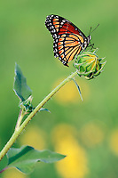 Viceroy Butterfly (Limenitis archippus), adult perched on sunflower bud, Dinero, Lake Corpus Christi, South Texas, USA