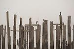 Row of wood pilings in calm water with herons