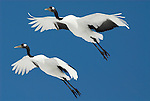 Red Crowned Crane, Grus japonensis, pair in flight against blue sky, Hokkaido Island, japanese, Asian, cranes, tancho, crested, white, black,  wilderness, wild, untamed, photography, ornithology, snow, graceful, majestic, flying, digitally enhanced.Japan....