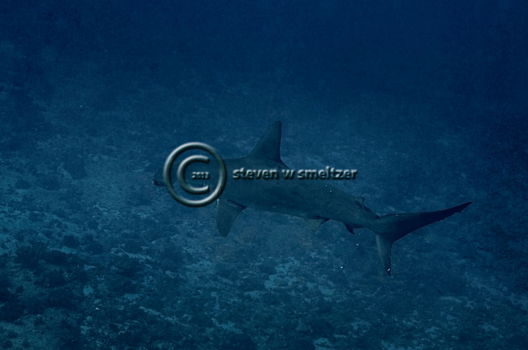 Scalloped Hammerhead Shark Molokai Hawaii