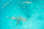 Blue Lagoon, Rangiroa Atoll, Tuamotu Archipelago, French Polynesia; sicklefin lemon sharks swimming with blacktip reef sharks and reef fish in the shallow waters of the lagoon