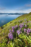 Wildflowers bloom in a meadow on Pillar mountain overlooking Kodiak Island to the south, Kodiak, Alaska.
