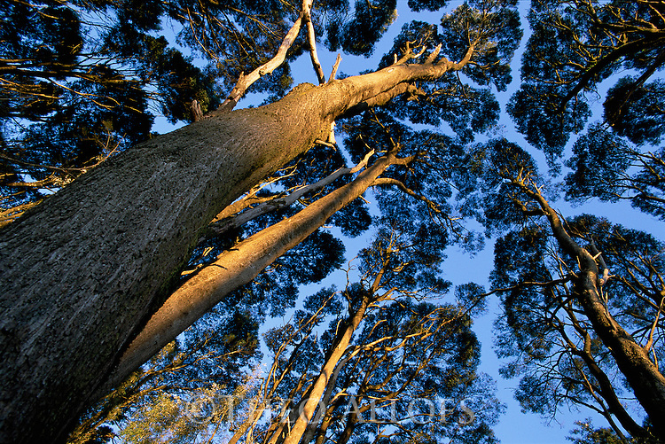 Australia, Victoria, Great Ocean Road, Eucalypt forest in Otway Ranges, view up into canopy, at sunrise