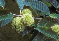 Castanea dentata American chestnuts growing on tree
