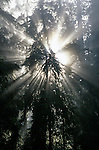 Jedediah Smith Redwoods State Park Stout Grove with sun breaking through trees in fog creating crepuscular rays Northern California USA