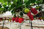 Hedgrerow Hydroponics, strawberry farm, Marlborough, South Island, New Zealand