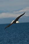 A bald eagle soaring over the water at Kachemak Bay in Homer, Alaska.
