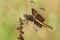 389210007 a wild female widow skimmer dragonfly libellula luctosa perched on a small twig gonzales county texas