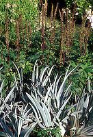 Iris pallida Argento-Variegata, variegated foliage leaves with Aconitum
