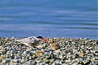 Arctic tern feeds nesting chick along the rocky shores of Naknek Lake in Katmai National Park, Alaska