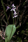Small Round-Leaved Orchid