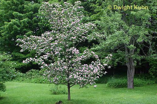 TT20-500z  Toba Hawthorn Tree in bloom, Crataegus x mordenensis