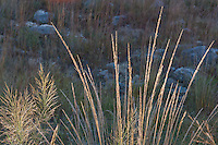 157000001 native grasses lindheimer muhly muhlenbergia lindheimeri and switchgrass panicum virgatum in foreground little bluestem  background on the laurels ranch owned by dave and myrna langford in the hill country of central texas united states