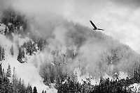 Black and white of a bald eagle in flight with wings spread over snow covered mountains and trees with fog rolling across the valley
