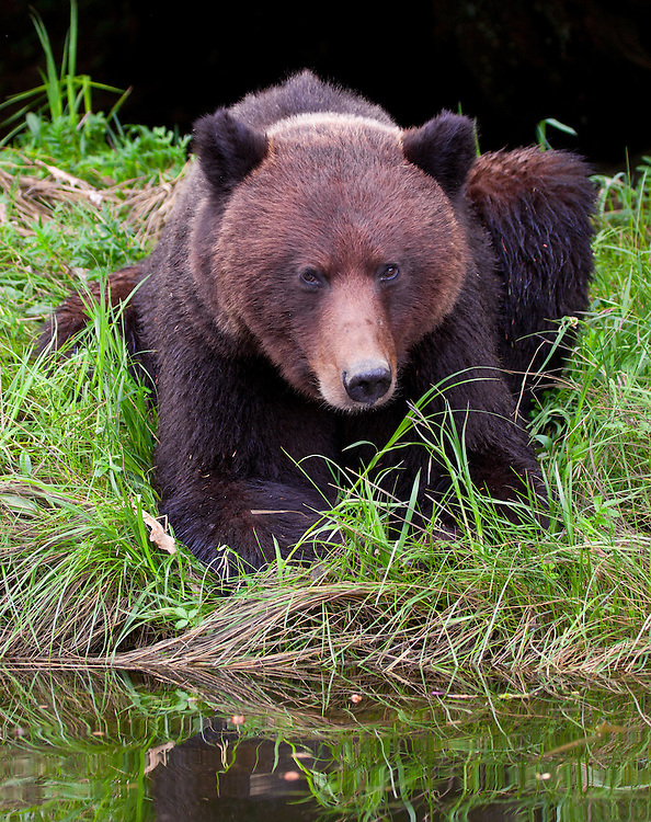 Grizzly Bear (ursus arctos horribilis) carefully watching from the edge of a river bank in the Khutzeymateen Grizzly Bear Sanctuary, British Columbia, Canada
