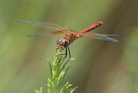 362700038 male band-winged meadowhawk sympetrum semicintum wild california