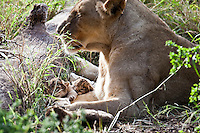 A lioness with her four day old cubs at the Seaview Lion Park, (Thursday 9th July 2009), Eastern Cape, South Africa ,   Photo: joliphotos.com