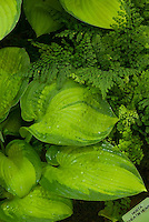 Hosta 'Paradigm' (v)