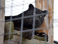 NWA Democrat-Gazette/BEN GOFF -- 03/09/15 Spyke, a black leopard, hangs out on a feature in his habitat at Turpentine Creek Wildlife Refuge near Eureka Springs on Monday Mar. 9, 2015.