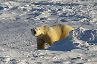 Male polar bear on ice pack