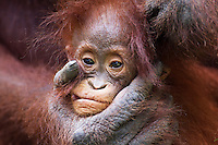Young female Bornean Orangutan 'Petra' (Pongo pygmaeus wurmbii) aged 12 months, Camp Leakey, Tanjung Puting National Park, Central Kalimantan, Borneo, Indonesia. Rehabilitated and released (or descended from) between 1971 and 1995. Portrait taken June 2010.