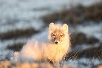 Arctic fox portrait in the late night sun, arctic north slope Alaska.