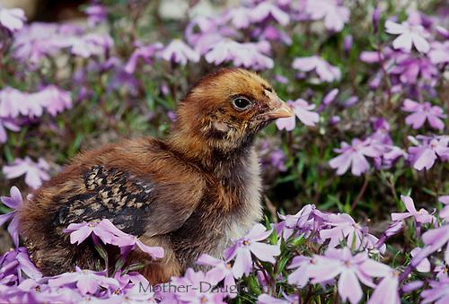 Brown Hampshire Chick, Maine USA