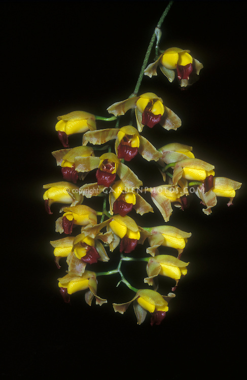 Baptistonia echinata Orchid Species, bumblebee orchid, also known as hedgehog orchid