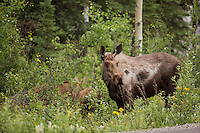 A moose and her two calves walked right through our campsite at Riley Creek Campground in Denali National Park.