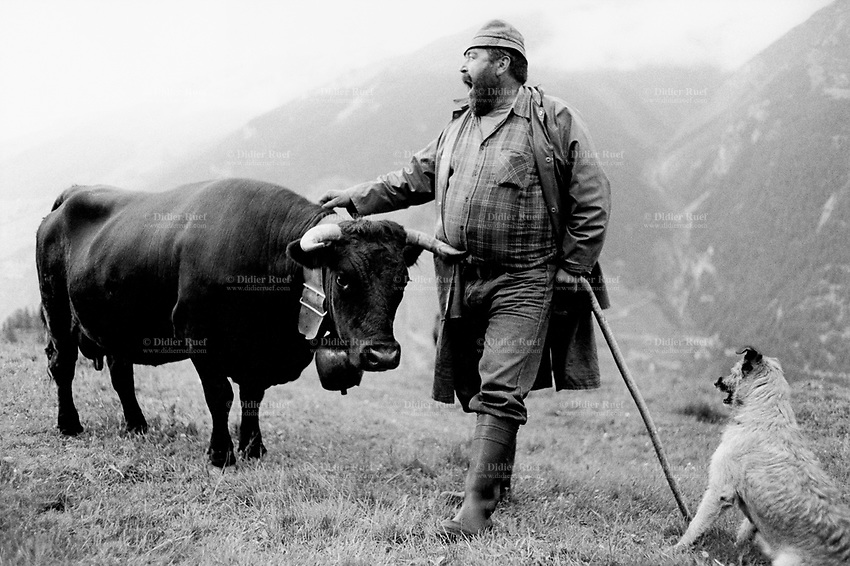 Switzerland. Canton Valais. Hèrens valley. Arbey. The Herens Cattle is one of the smallest cattle breeds. Their fur is dark red to brown or black. A distinguishing feature is the short and broad head, with a concave front line. The animals are very muscular, with sporting strong horns. Pasture. Swiss alpine farmers. Alps mountains peasants. © 1994 Didier Ruef